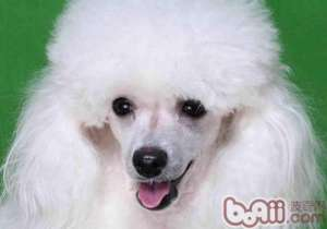 为何狗狗会得子宫蓄脓-狗狗常见病